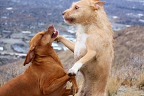 Took my dogs for a walk and took some pictures of them playfighting Was a bit surprised by how this shot turned out Hungarian Vizsla and Pitbull Mix