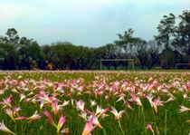 Took this picture during the Brazilian spring at the beginning of my masters degree course at University of Sao Paulo - Piracicaba - Brazil in  This is how our soccer field looks like during October