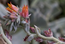Topsy Turvy Echeveria echeveria runyonii Bloom Cycle -
