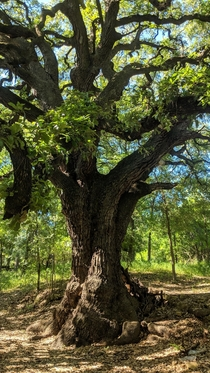 Towering Oak in San Antonio Tx