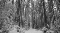 Towering trees in the snow on Vancouver Island OC x