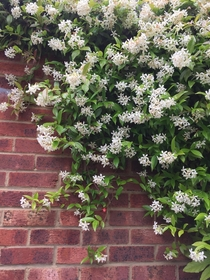 Trachelospermum jasminoides Hertfordshire England moist with rain and smelling terrific