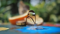 Translucent Glasswinged Butterfly  x-post rwoahdude