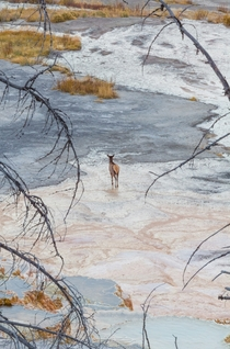 Travertine hot springs and a lonely elk Yellowstone