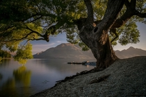 Tree at Lake Wakatipu NZ