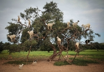 Tree-climbing goats feed on an Argania Spinosa known as an Argan tree in Essaouira southwestern Morocco Wednesday April   By eating the fruit and spitting out the seeds the goats help in the process of manufacturing Argan oil Photo credit Mosaab Elshamy