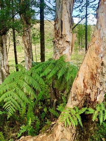 Tree Fern and Paperbark Tree trunks Waihee Ridge