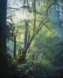 Tree ferns - Dandenongs Australia