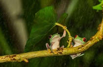 Tree frog couple hiding from the rain
