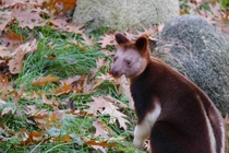 Tree-kangaroo eating