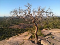 Tree on Enchanted Rock near Fredericksburg Texas