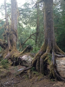 Tree roots find the ground growing atop a giant fallen tree On the banks of Lake Cushmann
