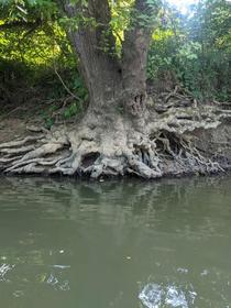 Tree Roots Hocking River Logan Ohio  OC