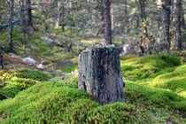 Tree stump in a Swedish forest