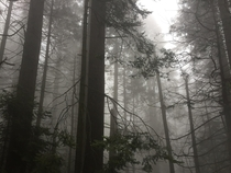 Treees in the clouds at Sequoia National Park CA