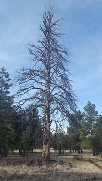 Trees are beautiful even when theyre dying Flagstaff AZ resolution x