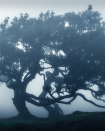 Trees dancing in the fog Madeira  IG holysht
