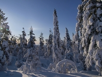 Trees heavy with snow in Kolari Finnish Lapland