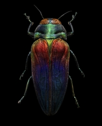 Tricolored Jewel Beetle Belionota sumptuosa