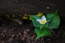 Trillium near alpine jelly cones in an old growth forest