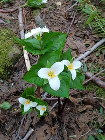 Trilliums I saw while hiking last weekend