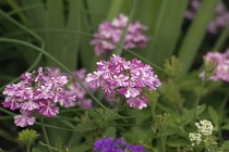 Tropical Breeze Verbena