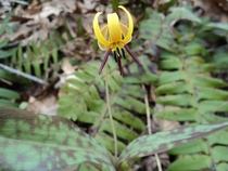 Trout Lily from NC