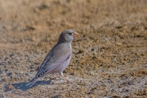 Trumpeter Finch - Bucanetes githagineus - Desert National Park Rajasthan India