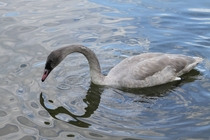Trumpeter Swan Cygnus buccinator cygnet foraging in the water
