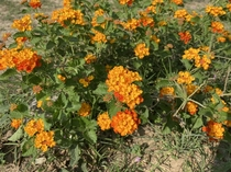 TTM beautiful little marigolds