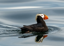 Tufted puffin on the ocean