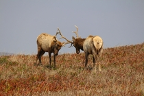 Tule elk Cervus canadensis nannodes at Tomales Point CA
