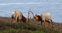 Tule elk Cervus canadensis nannodes playing at Point Reyes National Seashore Ca