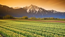 Tulip Fields British Columbia Canada
