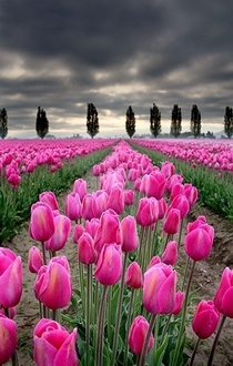 Tulip fields in the Skagit Valley