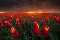 Tulips and a storm during a dramatic sunset The Netherlands OC