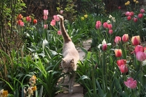 Tulips and cute cat