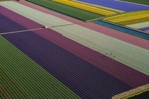 Tulips blooming in fields between Amsterdam and Leiden the Netherlands George Steinmetz