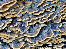 Turkey Tail Mushrooms Trametes versicolor appearing after the first good winter storm in So Cal