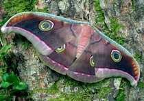 Tussore Silk Moth by Butterfly House