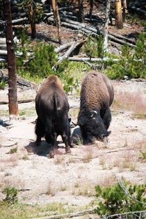 Two American Bison fighting -BisonBisonOC