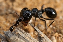 Two ants fighting