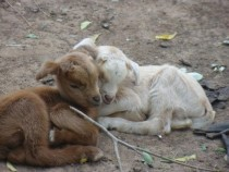 Two baby goats cuddling in Mali West Africa