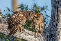 Two barred owls Strix varia showing some love
