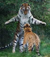 Two Bengal Tigers Panthera tigris tigris
