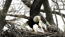 Two eaglets watch a bald eagle fly from their nest Charlie Neibergall