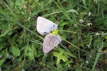 Two endangered Fenders blue butterflies mating I icarioides fenderi
