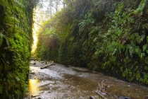 Two -foot walls of life at NorCals Fern Canyon  OC