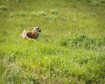 Two foxes playing in a open field in Waterton Alberta