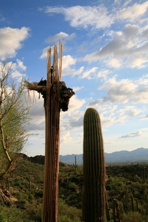 Two generations of the Saguaro Cactus Tucson Arizona